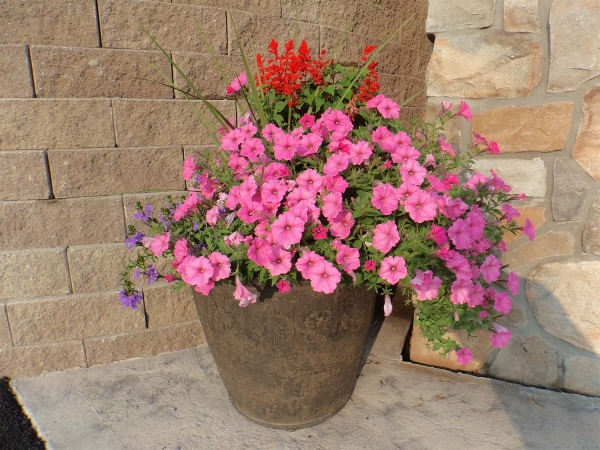 pink flowers in pot